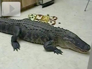 woman finds giant gator in her kitchen