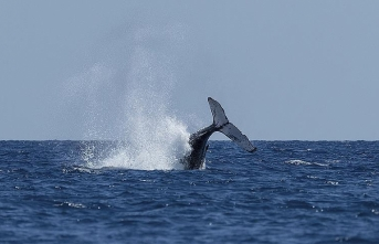 Australia, New Zealand decry Japan's return to whaling