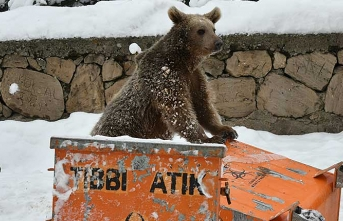 Baby bear search for food in the center of the city