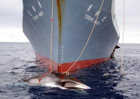 Japan will conduct Pacific whale hunt despite court ruling