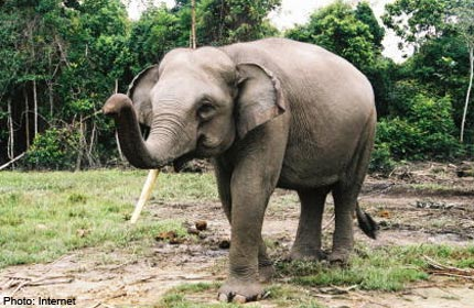 Thailand asked to combat 'rise' in elephant smuggling
