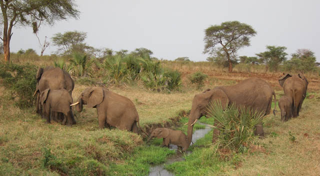 Elephants can gauge threat from human voices