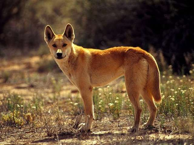 Australia's dingo is a unique species, study shows