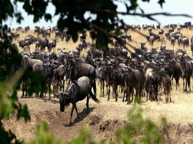 Tourists flock to Kenya for 'Great Migration'