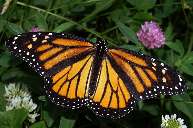 Butterflies use magnetic compass to fly across America