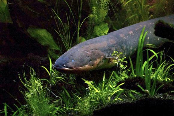 Scientists solve mysteries of electric fish