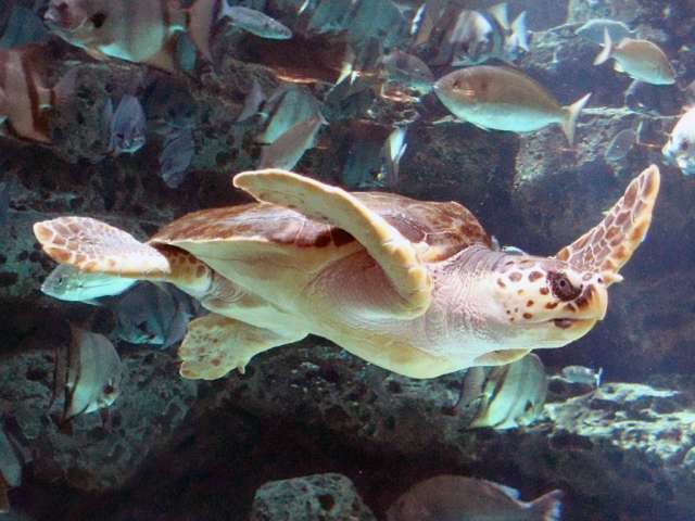 U.S. declares 'critical habitat' protection for loggerhead turtles