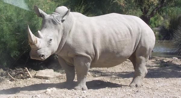 Rare white rhino dies in Kenya, only six remain