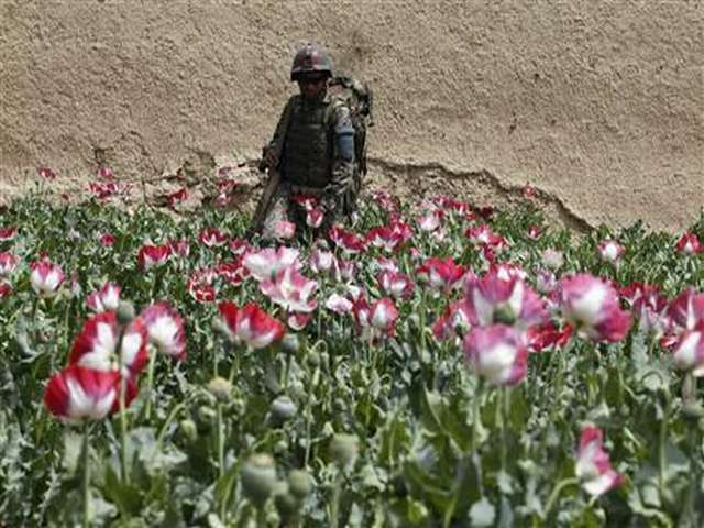 Afghan opium crop at fresh high