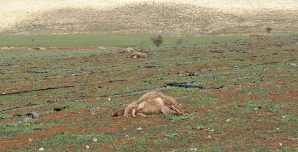 Zionist settlers poison 13 sheep in Occupied Palestine