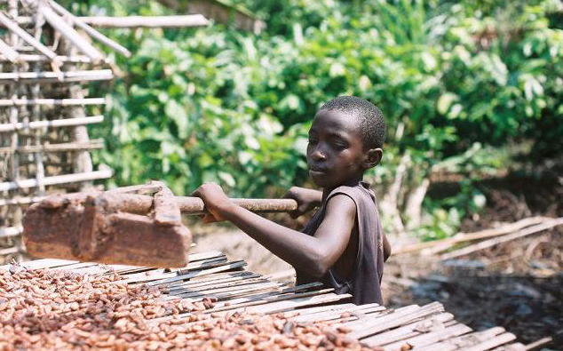 Child labor rises on Ivory Coast cocoa farms