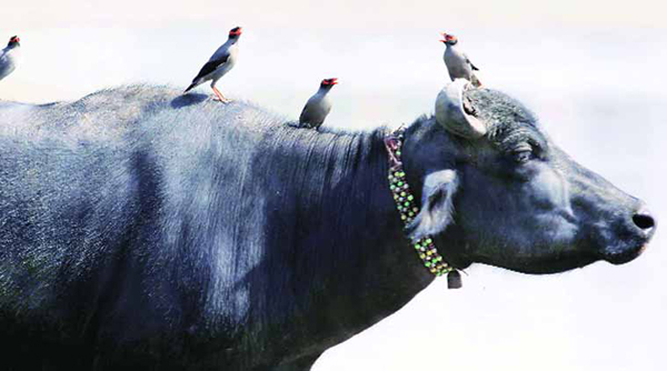Beef ban means Eid worries for Indian Muslims