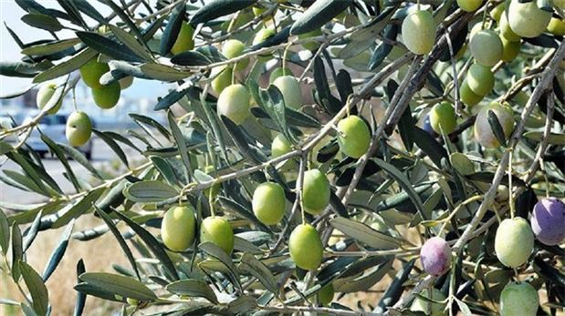 Syrians plant olive trees to mark uprising anniversary