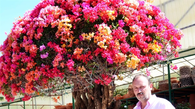 Rare Bougainvillea trees sell for thousands in Turkey