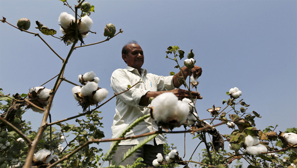 Monsanto withdraws new GM cotton seed in India row