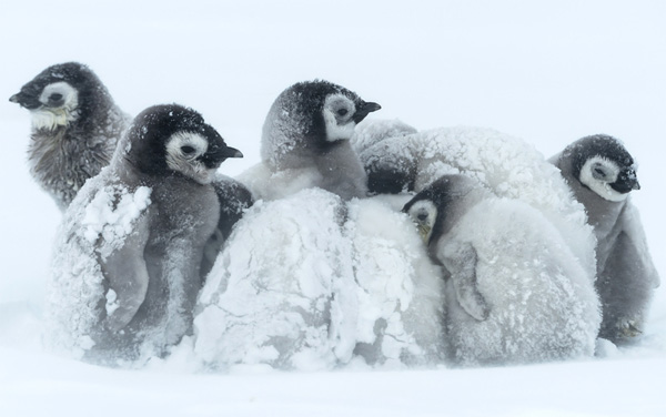 Canada's bitter weather has even penguins coming out of the cold