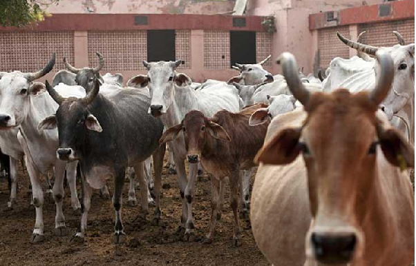 India's Gujarat state OKs life in jail for killing cows
