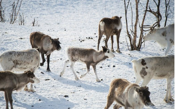 Reindeer at risk from Arctic hot spell