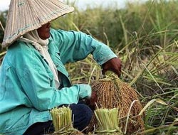 Thai military proposes new scheme to help rice producers