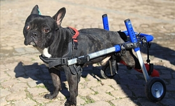 Paralyzed dog Kara Simsek walks again in Turkey's Samsun