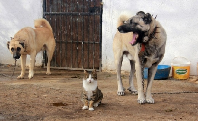 Surprising friendship between cats and Kangal dogs