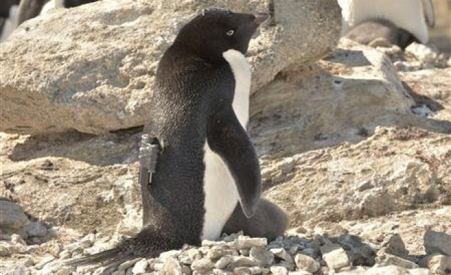 Adelie penguins are killing machines but cute, cool