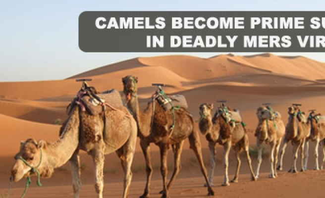 Camels become prime suspects in deadly MERS virus