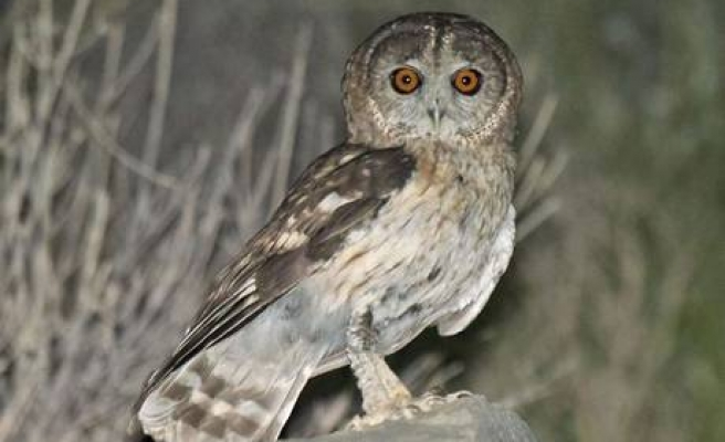 New owl species found in Oman