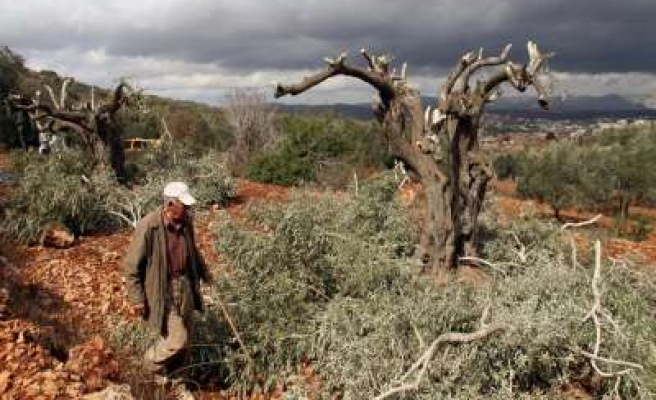 Israeli settlers destroy Palestinian-owned olive trees in Nablus/ PHOTO