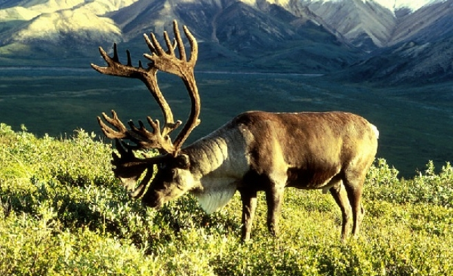 Halal reindeer meat to hit the Muslim markets