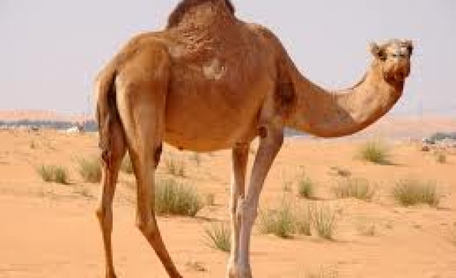 Saudi Arabia to test camels for MERS