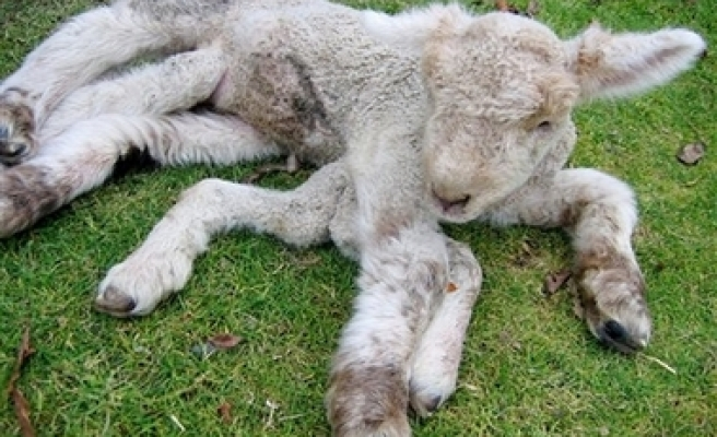 Lamb Born With 7 Legs in New Zealand