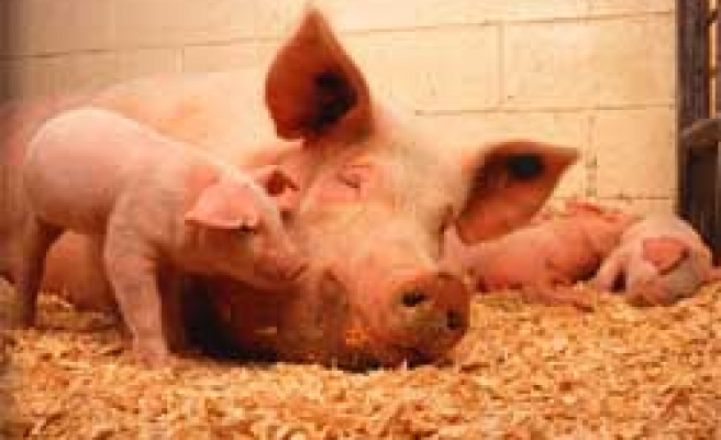 South Africa police 'stole pigs'