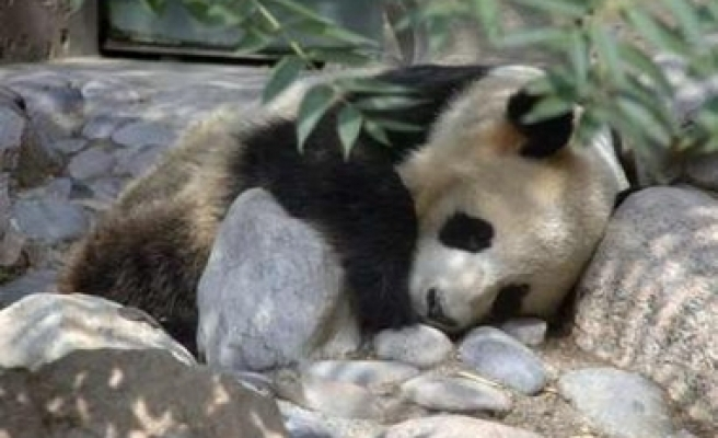 Panda once thought to be male gives birth