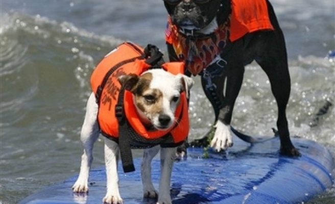 Surfing dogs / PHOTO
