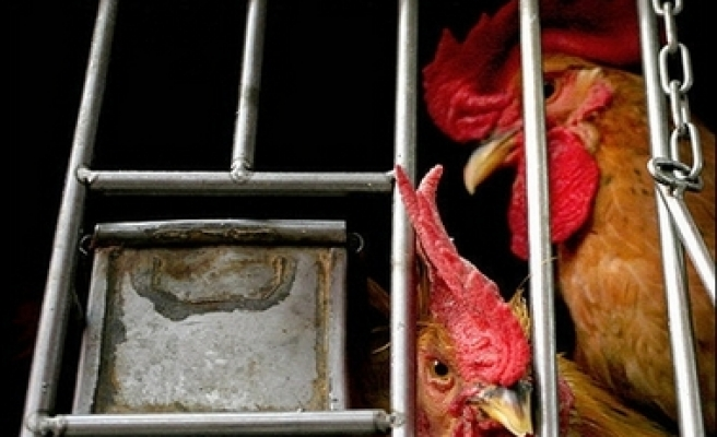 Germany culls 160,000 poultry to combat bird flu