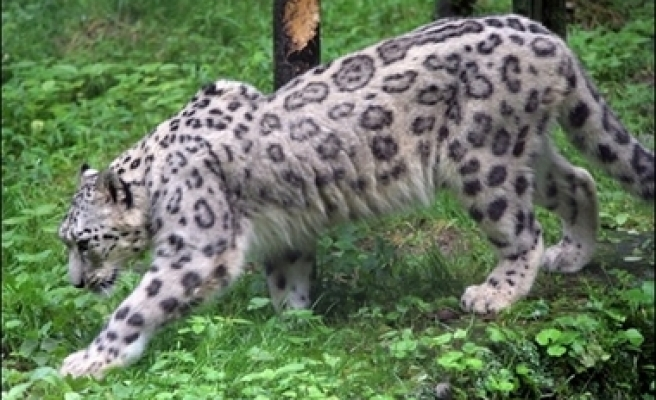 Evidence that the Anatolian leopards are not extict