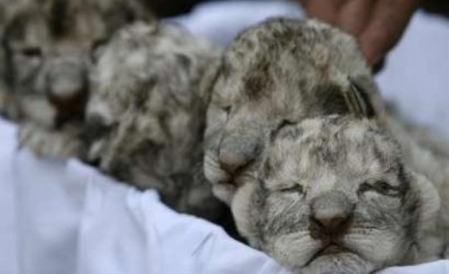 Newly-born white lion cubs at a zoo in Jordan / PHOTO
