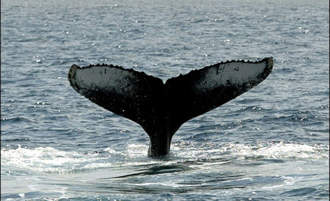 US judge overturns whale-protecting ban on sonar