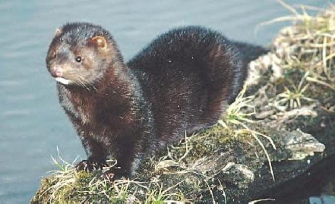 Finnish farmers hunt freed mink