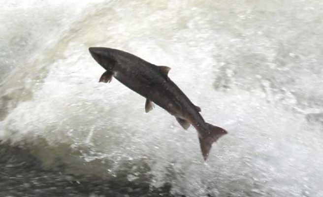 Salmon fish are born with 'magnetic map' for navigation