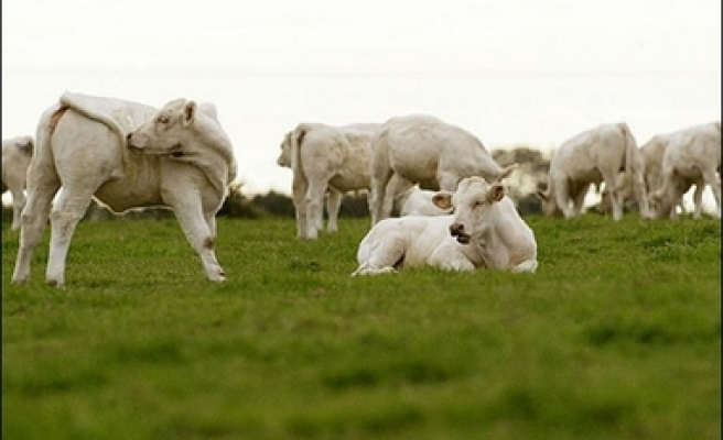 14,000 Uruguay cattle to be in Turkey over meat tender