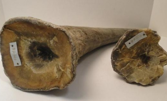 Chinese man gets 70 months in U.S. prison for smuggling ivory