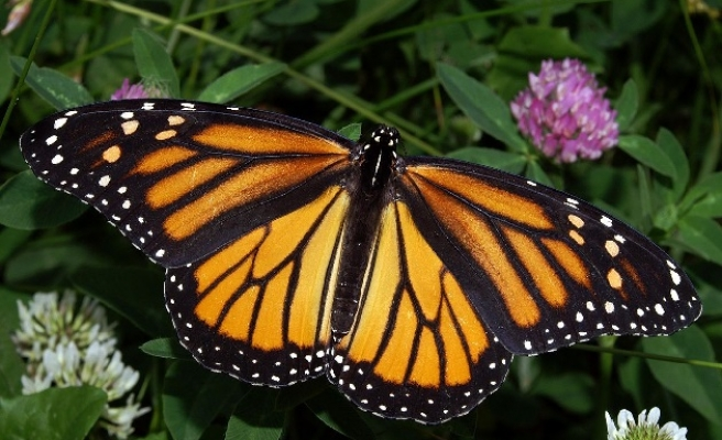 Monarch butterfly count rises as conservationists warn of extinction