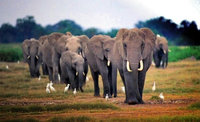 African elephants 'killed faster than born'