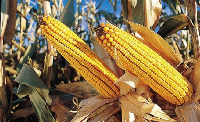 Growth of GM crops slows for first time in 20 years