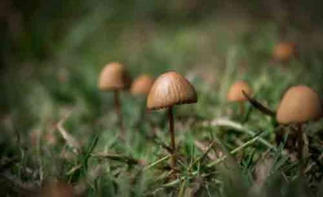 Psychedelic mushrooms may anxiety in cancer patients