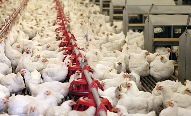 Turkey's poultry production on rise in 2017