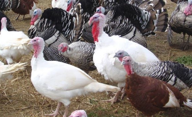 Turkey's poultry production up in May