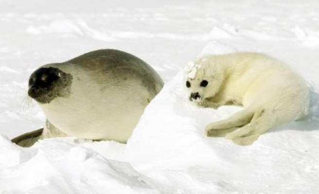 Canada says seals to be killed 'more humanely'